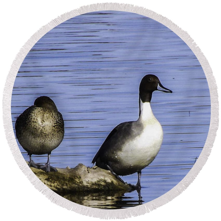 Northern Pintail Round Beach Towel featuring the photograph Northern Pintail by Along The Trail