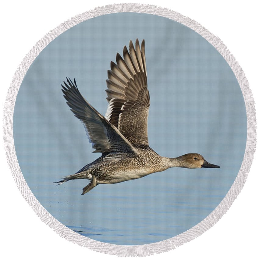 Northern Pintail Round Beach Towel featuring the photograph Northern Pintail Hen by Anthony Mercieca