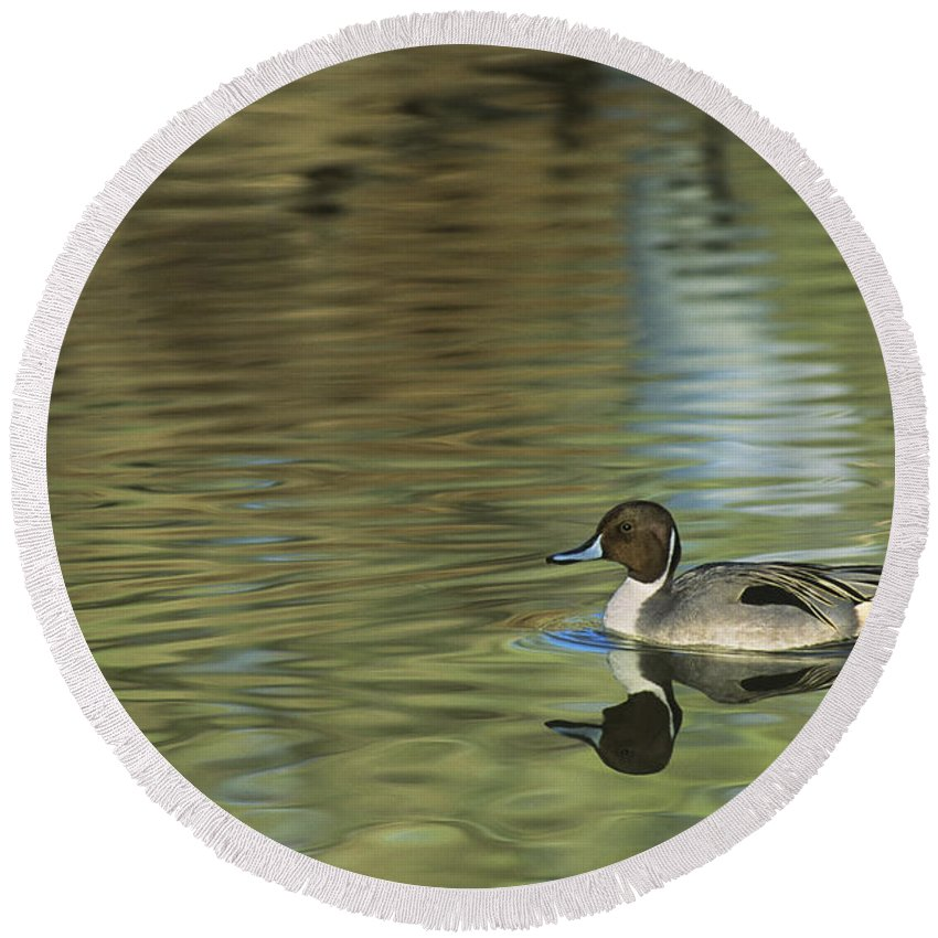 North America Round Beach Towel featuring the photograph Northern Pintail In A Quiet Pond California Wildlife by Dave Welling