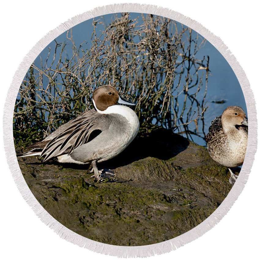 Northern Pintail Round Beach Towel featuring the photograph Northern Pintail Pair At Rest by Anthony Mercieca