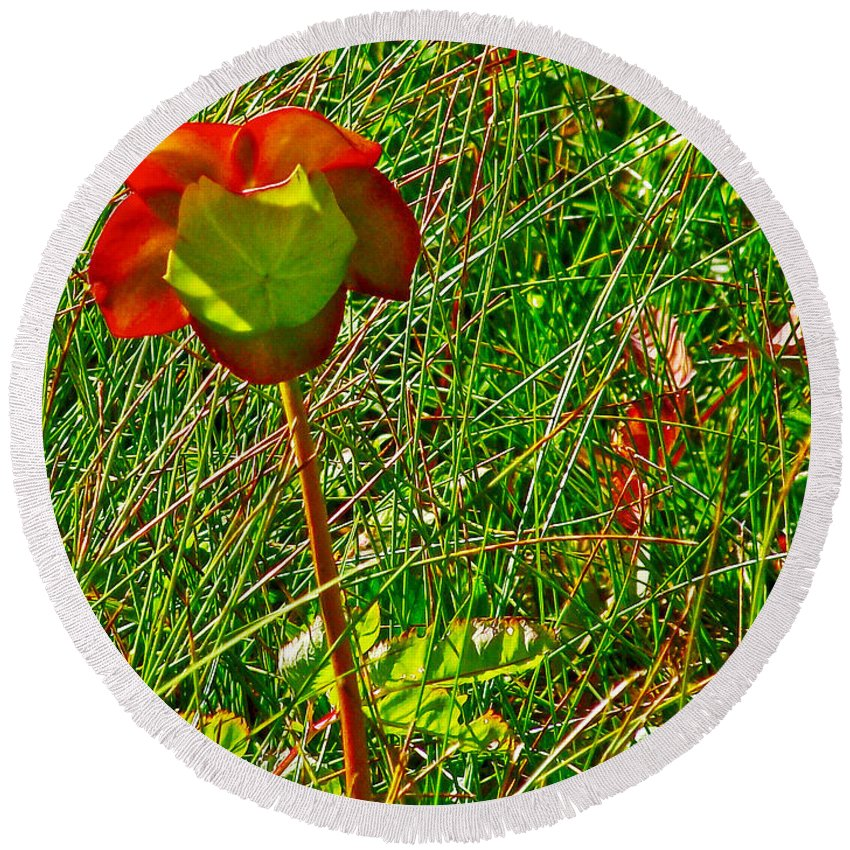 Northern Pitcher Plant In French Mountain Bog In Cape Breton Highlands Round Beach Towel featuring the photograph Northern Pitcher Plant In French Mountain Bog In Cape Breton Highlands-nova Scotia by Ruth Hager