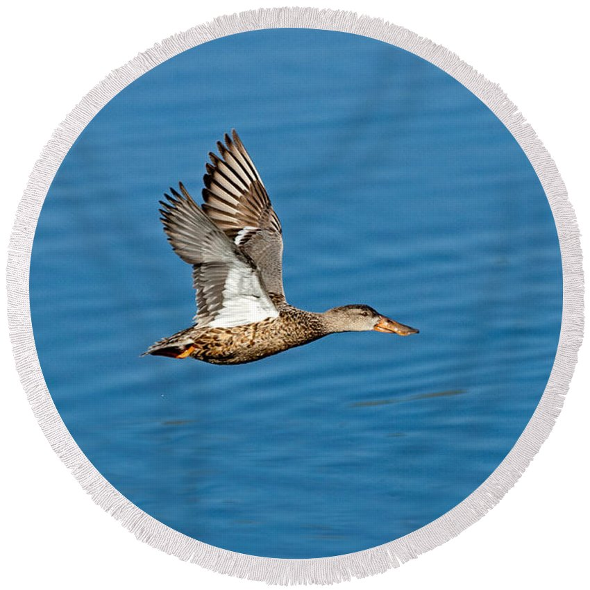 Northern Shoveler Round Beach Towel featuring the photograph Northern Shoveler In Flight by Anthony Mercieca