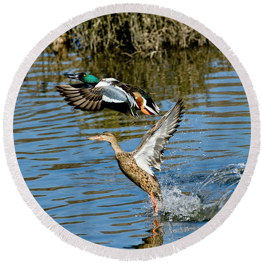Male Northern Shoveler Round Beach Towel featuring the photograph Northern Shoveler Pair by Anthony Mercieca