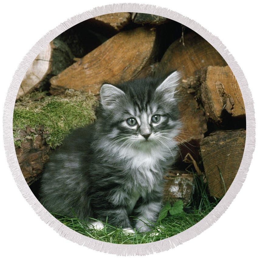 Norwegian Forest Cat Round Beach Towel featuring the photograph Norwegian Forest Kitten by John Daniels