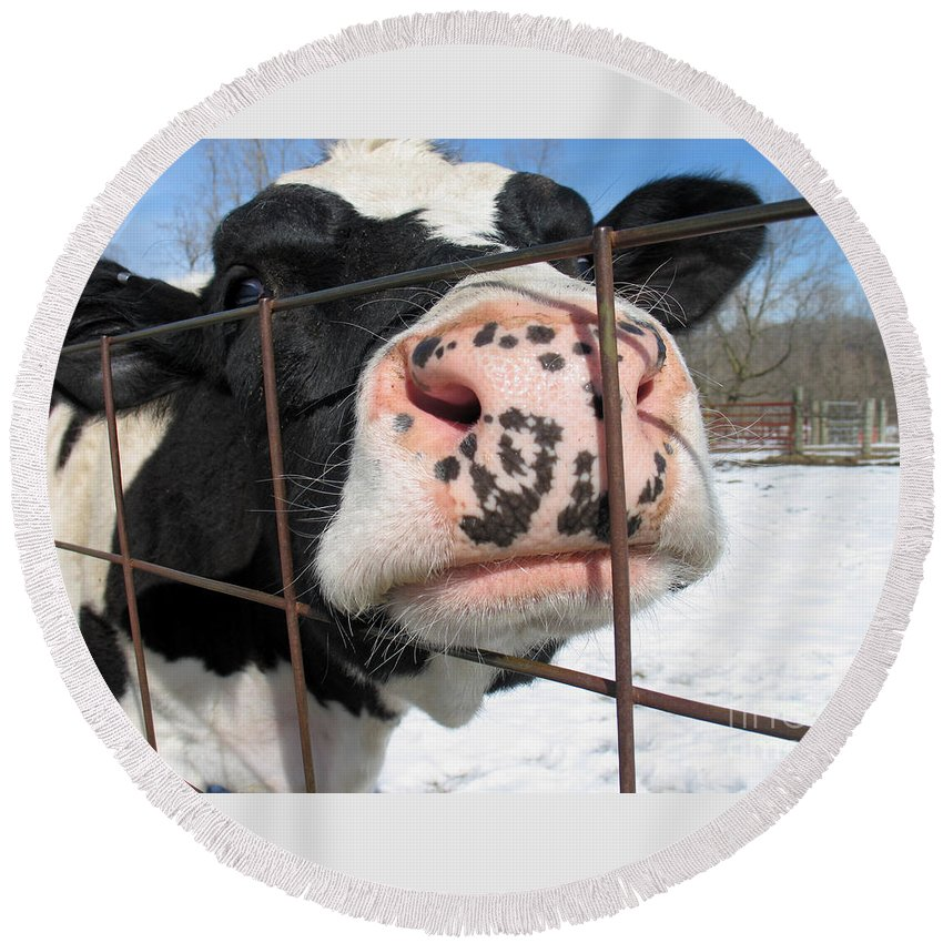 Cow Round Beach Towel featuring the photograph Nosy by Ann Horn