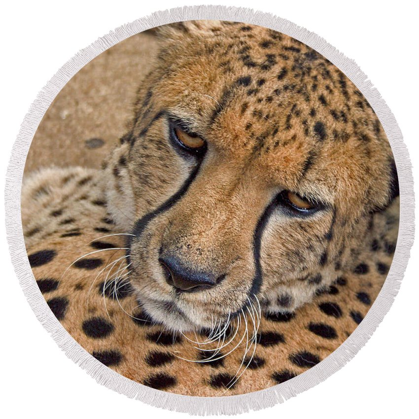 Cheetah Round Beach Towel featuring the photograph Not So Fast by David Rucker