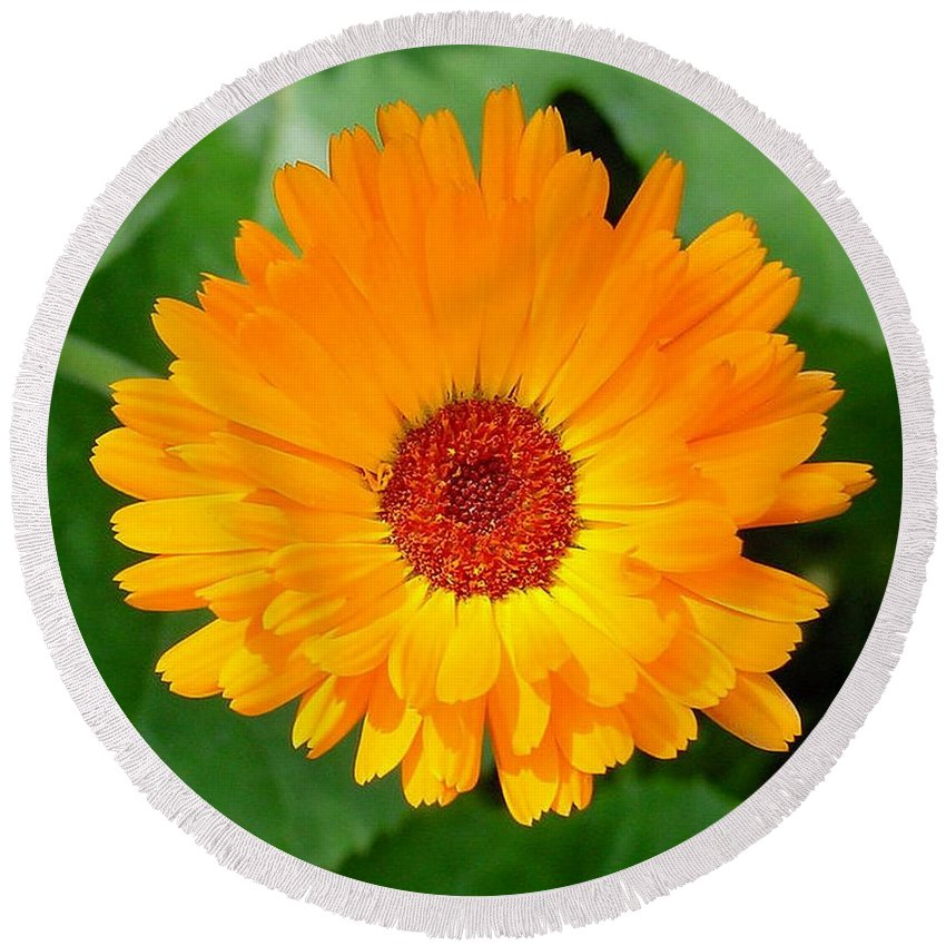 Flower Round Beach Towel featuring the photograph October's Summer Sunlit Marigold by Taiche Acrylic Art