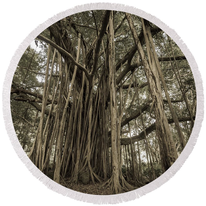 3scape Round Beach Towel featuring the photograph Old Banyan Tree by Adam Romanowicz