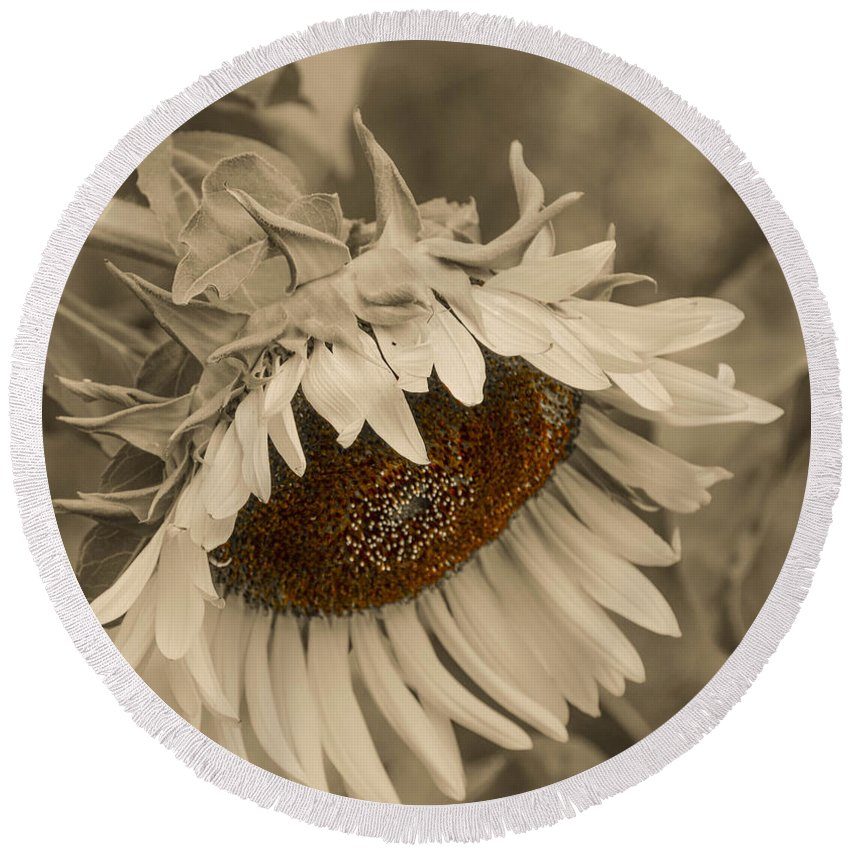 Mexican Round Beach Towel featuring the photograph Old Fashioned Sunflower by Michael Moriarty
