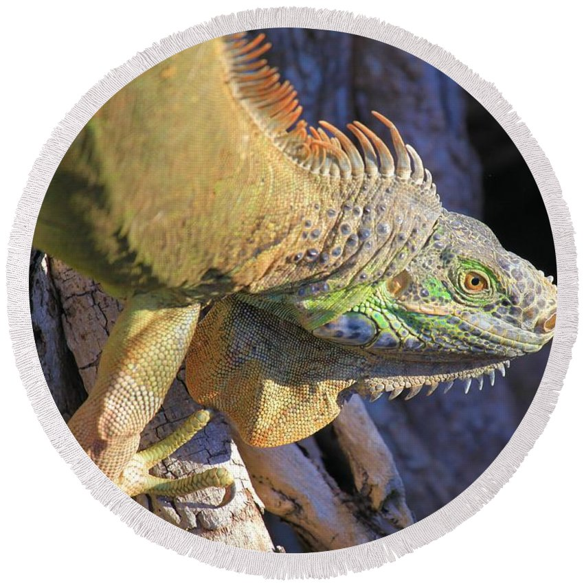 Iguana Round Beach Towel featuring the photograph On The Hunt by Adam Jewell