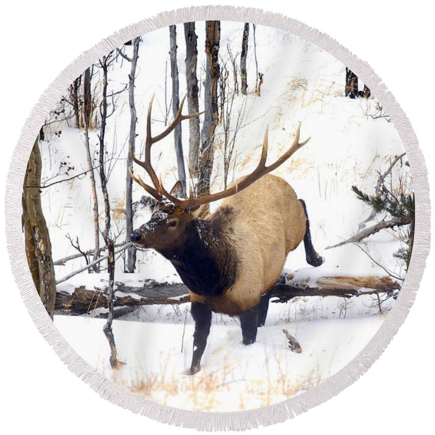 Elk Round Beach Towel featuring the photograph On the Move by Mike Dawson