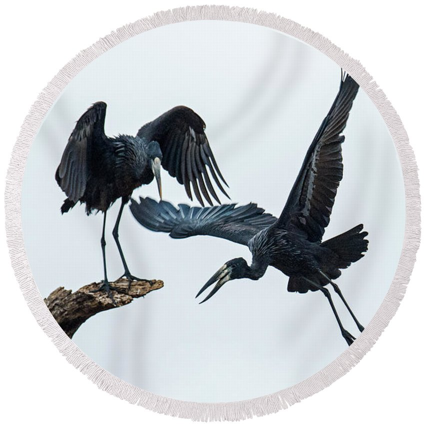 Photography Round Beach Towel featuring the photograph Openbill Storks Flying, Tarangire by Panoramic Images