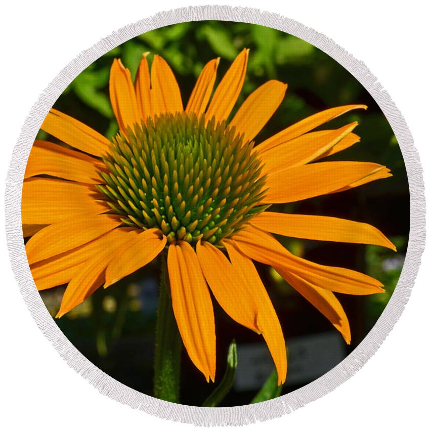 Nature Round Beach Towel featuring the photograph Orange Cone Flower by Tikvah's Hope