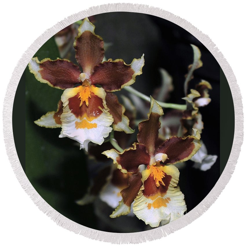 Brown Oncidium Round Beach Towel featuring the photograph Orchid Brown Yellow White Macro by Terri Winkler