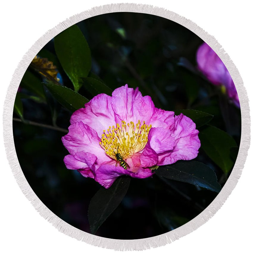 North Carolina Round Beach Towel featuring the photograph Orchid Camellia Pink - Camellia Sasanqua by Greg Reed