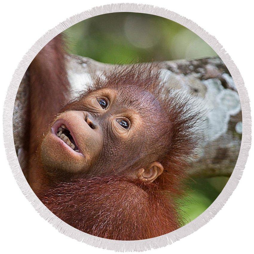 Animal Round Beach Towel featuring the photograph Orphan Baby Orangutan by Louise Heusinkveld