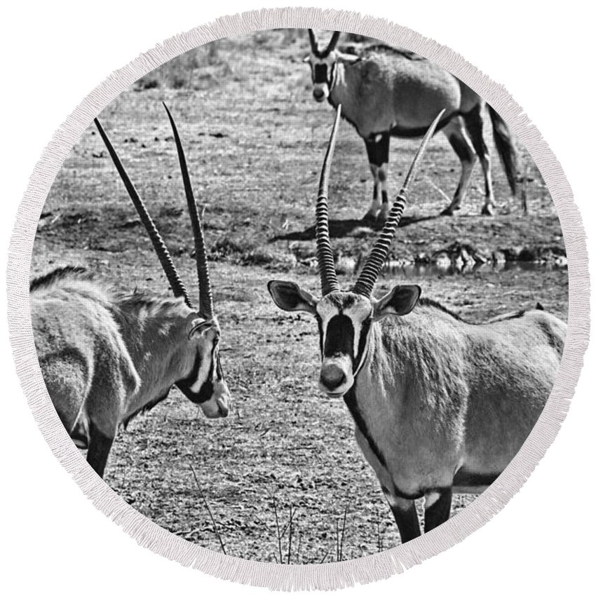 Oryx Round Beach Towel featuring the photograph Oryx Black And White by Douglas Barnard
