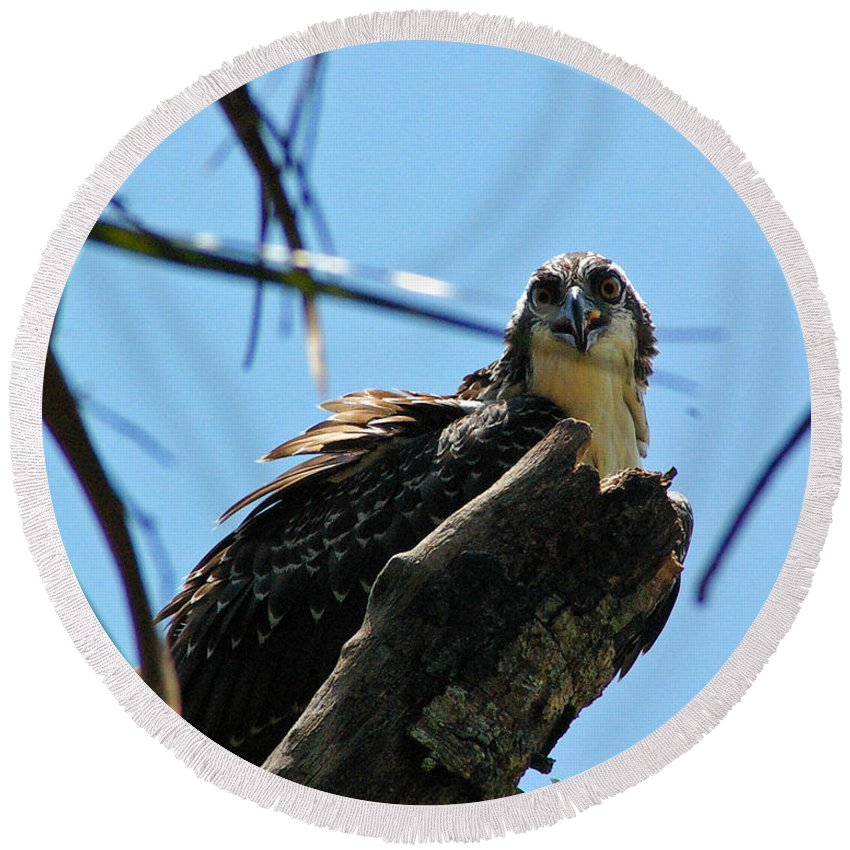 Osprey Round Beach Towel featuring the photograph Osprey 1 by Nancy L Marshall