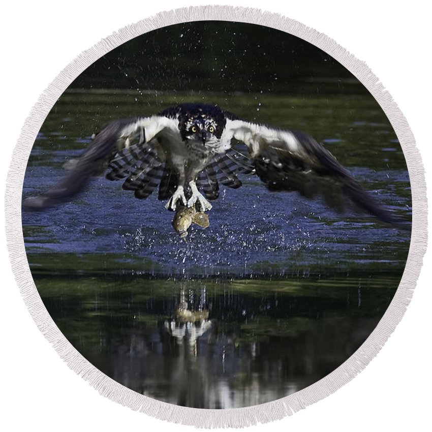 Osprey Round Beach Towel featuring the photograph Osprey Bird Of Prey by David Lester