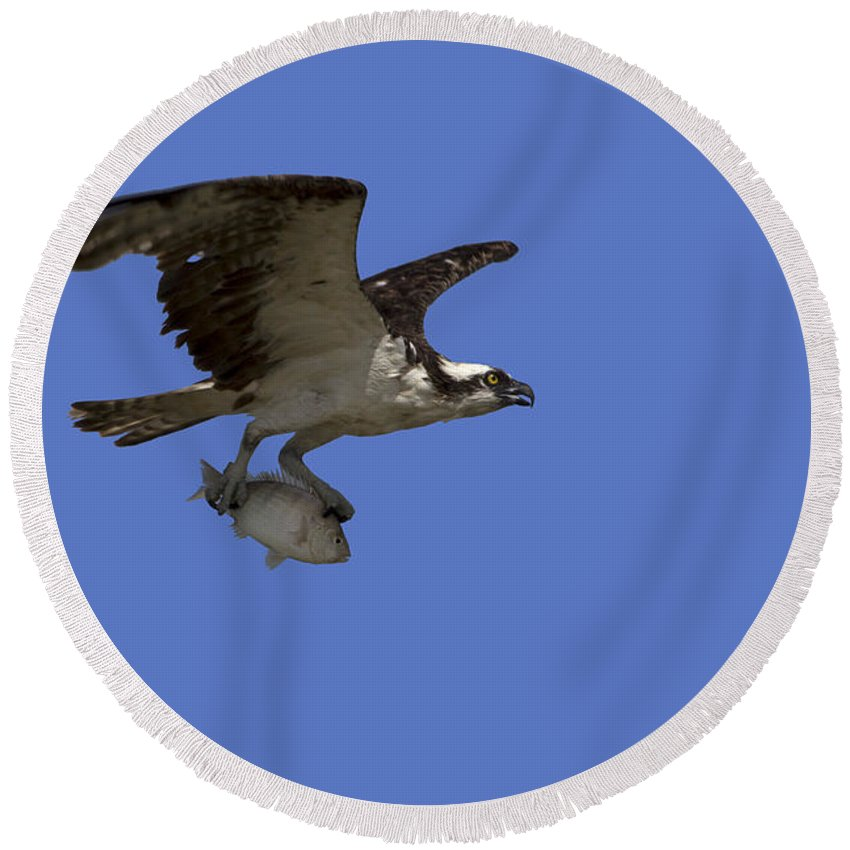 Osprey Round Beach Towel featuring the photograph Osprey In Flight by Meg Rousher