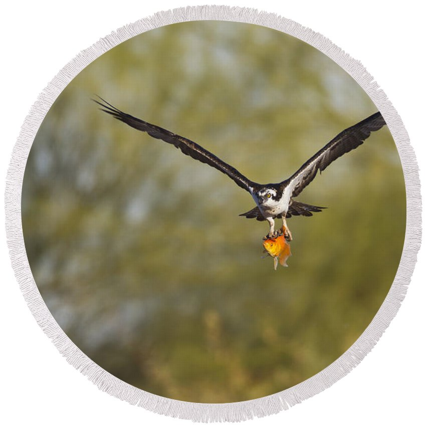 Osprey Round Beach Towel featuring the photograph Osprey With Goldfish by Bryan Keil