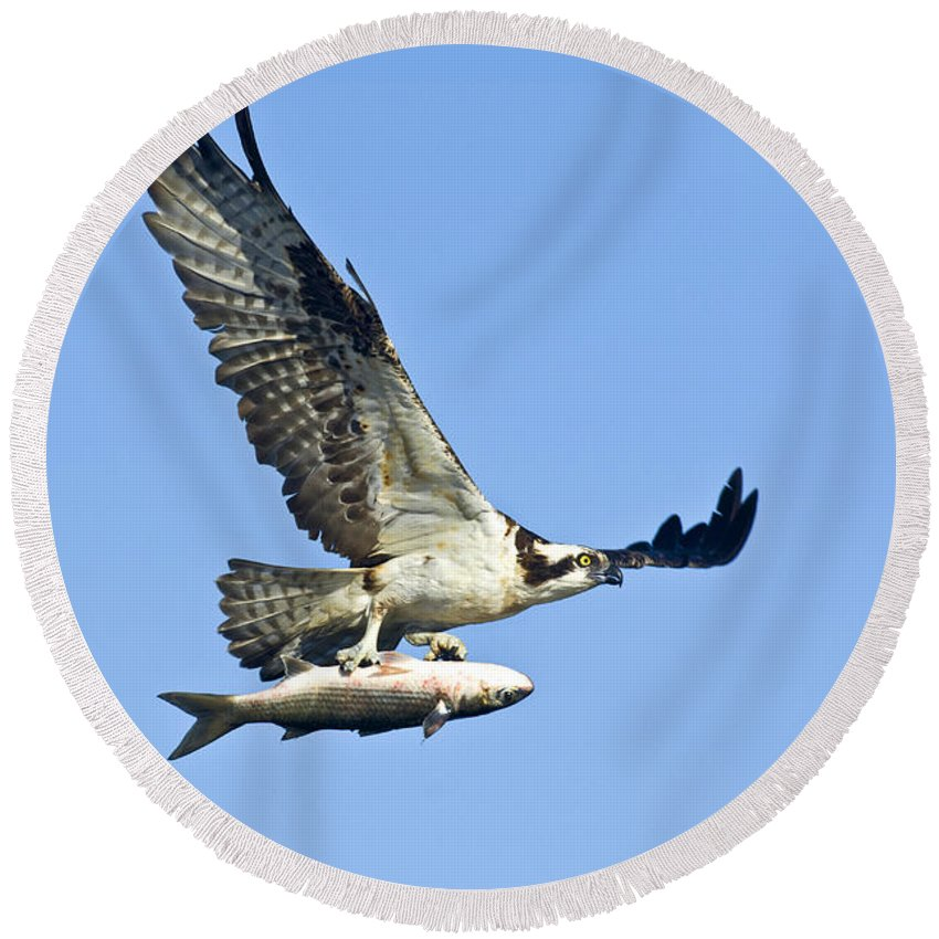 Animal Round Beach Towel featuring the photograph Osprey With Mullet by Anthony Mercieca