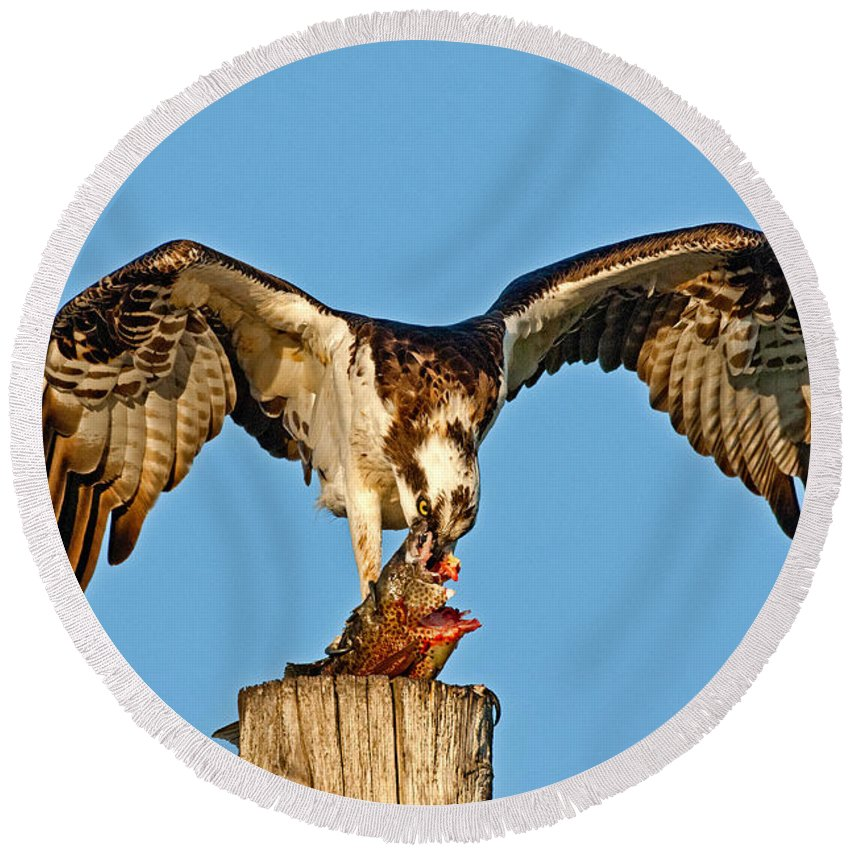 Animal Round Beach Towel featuring the photograph Osprey With Spotted Bass by Anthony Mercieca