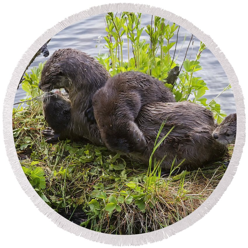Trout Lake Round Beach Towel featuring the photograph Otter Family Fun by Elaine Haberland