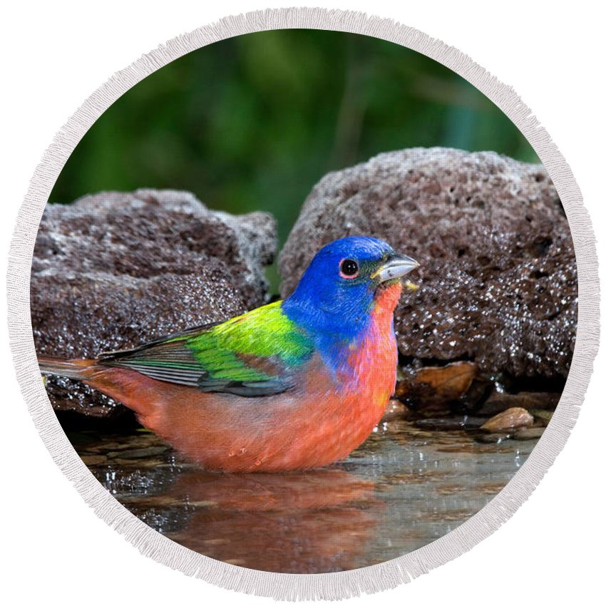 Fauna Round Beach Towel featuring the photograph Painted Bunting Passerina Ciris In Water by Anthony Mercieca