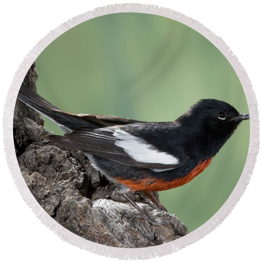 Fauna Round Beach Towel featuring the photograph Painted Redstart Myioborus Pictus by Anthony Mercieca