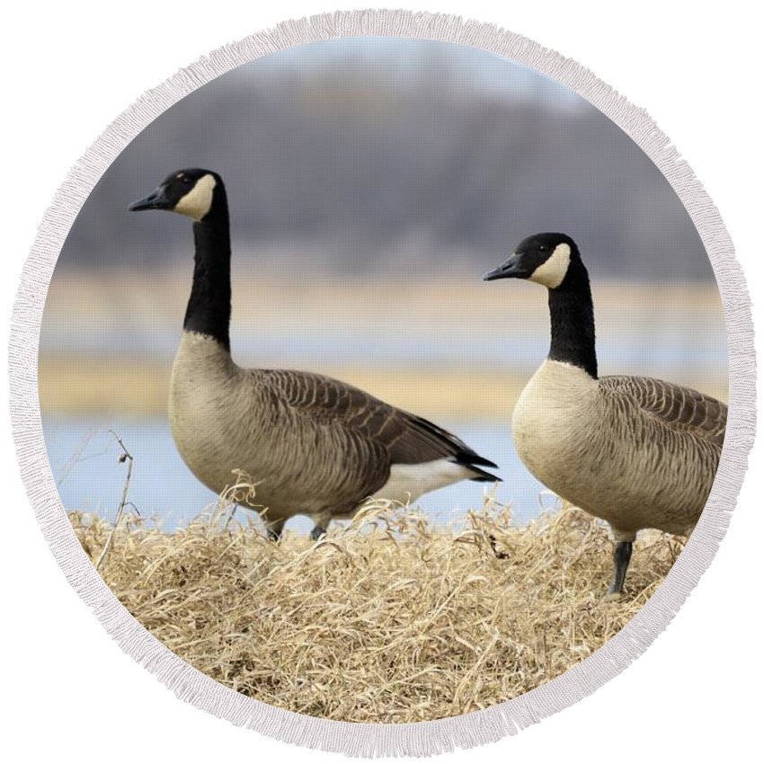 Geese Round Beach Towel featuring the photograph Pair Of Canadians by Bonfire Photography