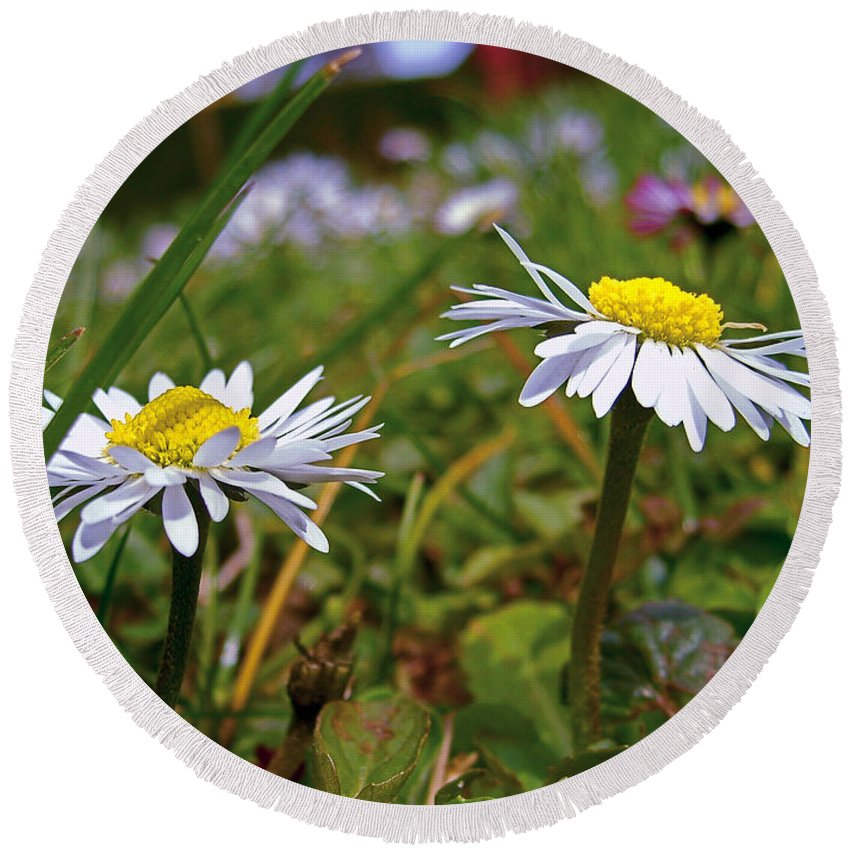 Daisy Round Beach Towel featuring the photograph Pair Of Daisies by Nina Ficur Feenan
