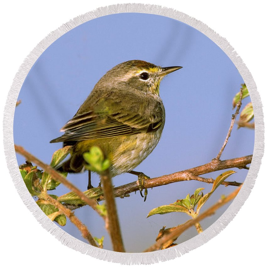 Palm Warbler Round Beach Towel featuring the photograph Palm Warbler by Anthony Mercieca