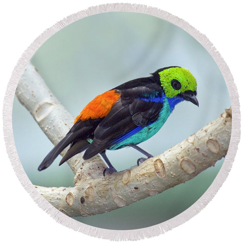 Animal Round Beach Towel featuring the photograph Paradise Tanager by Anthony Mercieca