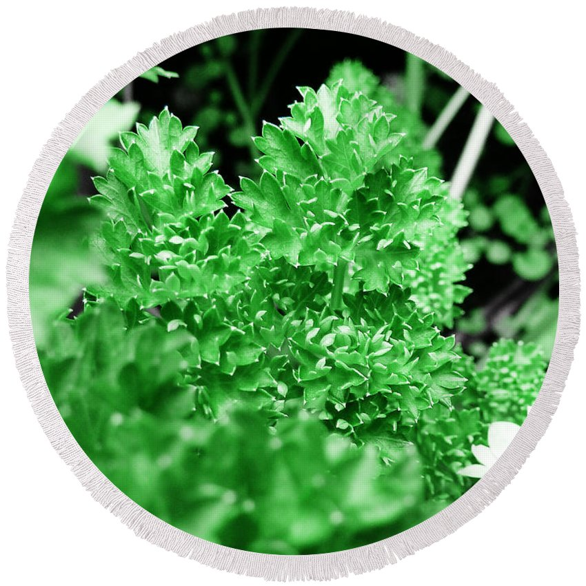 Herb Round Beach Towel featuring the photograph Parsley by Steve Taylor