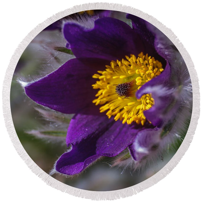 Purple Round Beach Towel featuring the photograph Pasque Flower by Edie Snell