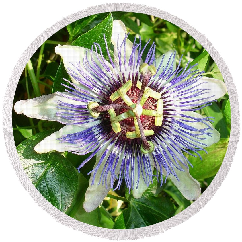 Flower Round Beach Towel featuring the photograph Passiflora Against Green Foliage In A Garden by Taiche Acrylic Art
