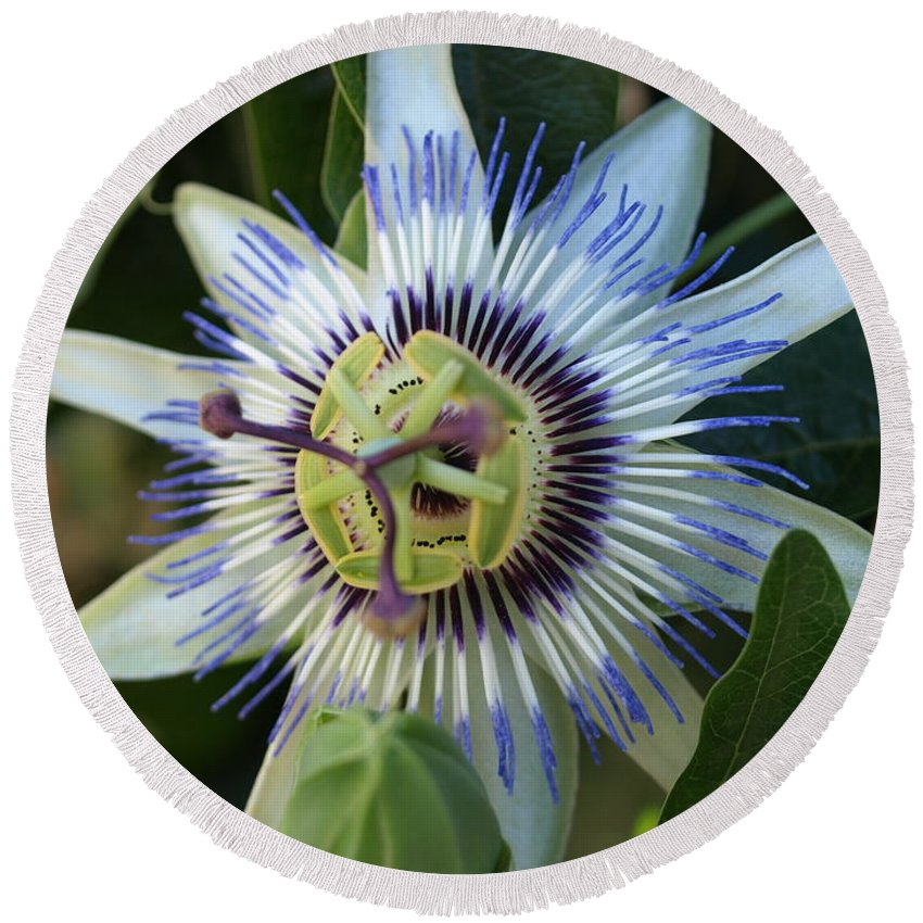 Hellebore Round Beach Towel featuring the photograph Passion Flower by Jacklyn Duryea Fraizer