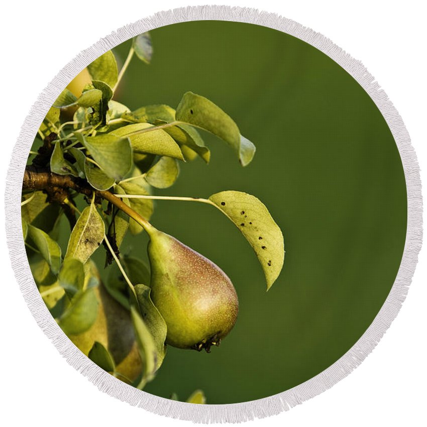 Color Round Beach Towel featuring the photograph Pear Tree by Dan Radi