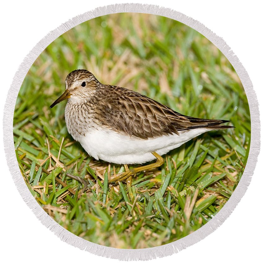 Pectoral Sandpiper Round Beach Towel featuring the photograph Pectoral Sandpiper by Anthony Mercieca