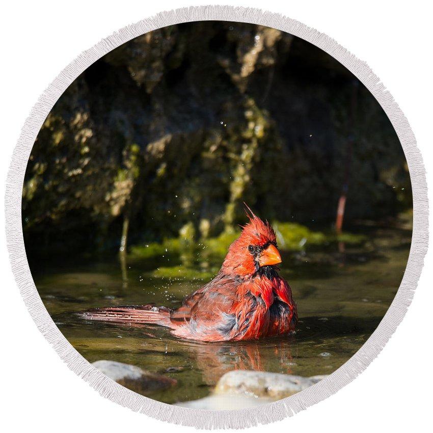Texas Round Beach Towel featuring the photograph Pedernales Park Texas Bathing Cardinal by JG Thompson