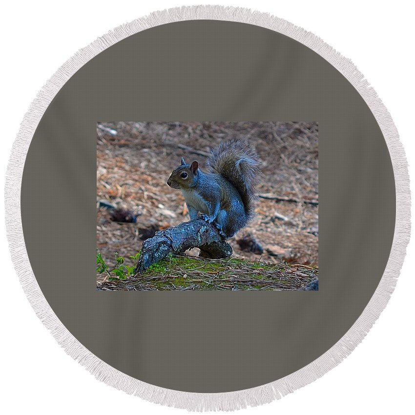 Squirrel Round Beach Towel featuring the photograph Perching Squirrel by Tara Potts