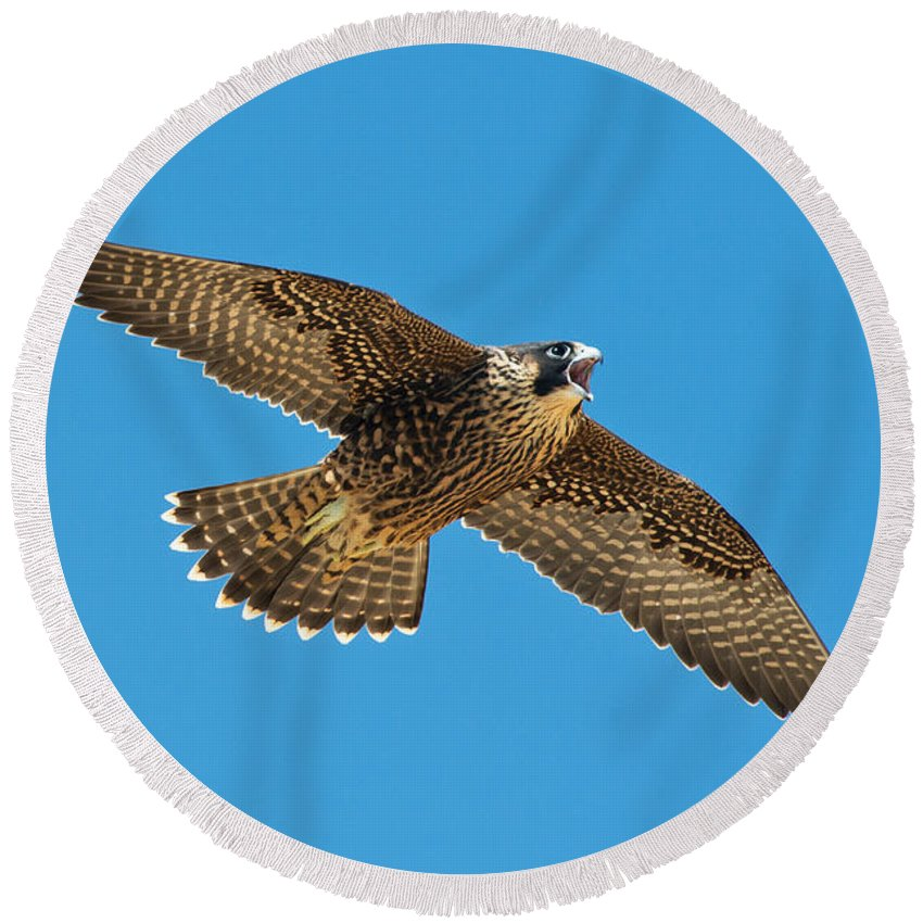 Peregrine Falcon Round Beach Towel featuring the photograph Peregrine Young Screaming For Food by Anthony Mercieca