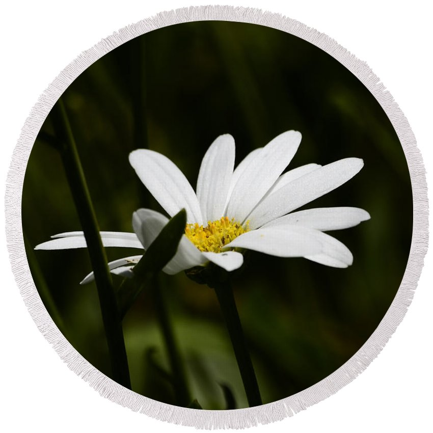 Daisy Round Beach Towel featuring the photograph Petals Of White by Lori Tambakis