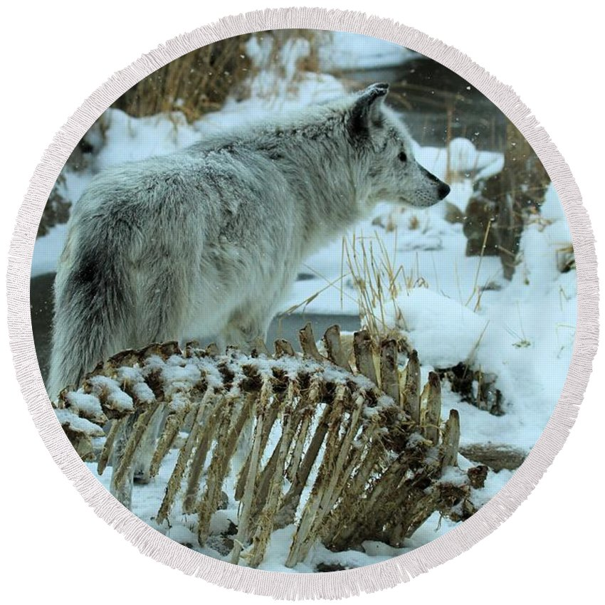 Gray Wolf Round Beach Towel featuring the photograph Picked Clean by Adam Jewell