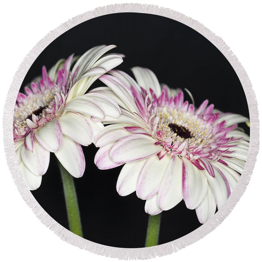 Pink Gerbera Flower Round Beach Towel featuring the photograph Pink And White Gerbera 2 by Steve Purnell