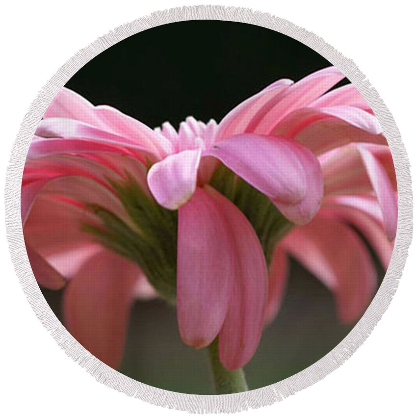 Pink Round Beach Towel featuring the photograph Pink Daisy 1 by Carol Lynch
