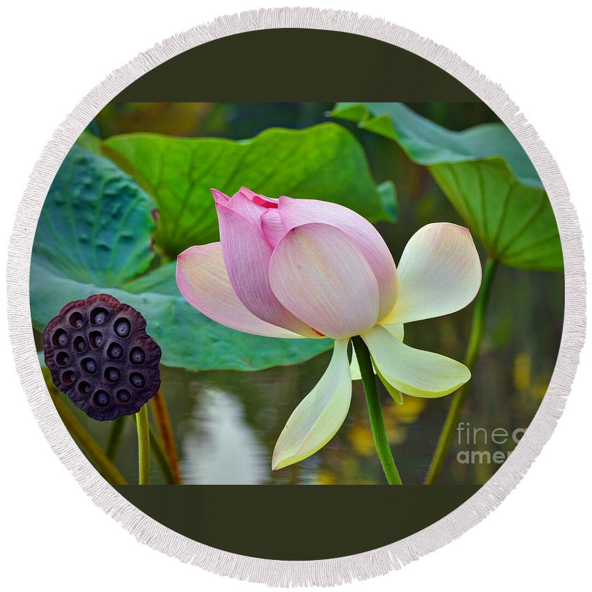 Biltmore Round Beach Towel featuring the photograph Pink Lotus by Savannah Gibbs