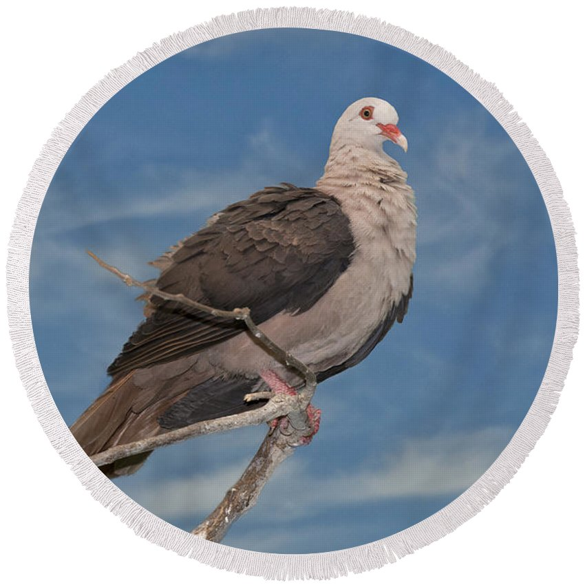 Mauritius Pink Pigeon Round Beach Towel featuring the photograph Pink Pigeon by Anthony Mercieca