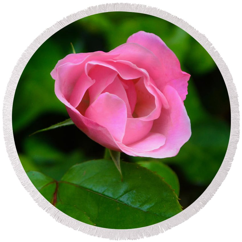 Pink Round Beach Towel featuring the photograph Pink Rose Volunteer by Brian Tada